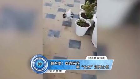 """超有爱 雄鸽采花献""""女友""""浪漫之极 161104"""