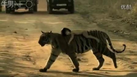 令人恐惧!胆大小女孩躺在老虎背上玩耍