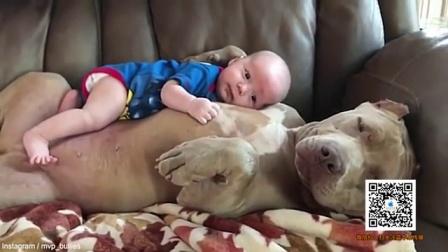 暖心 美国恶霸犬给予小宝宝温暖拥抱 161109