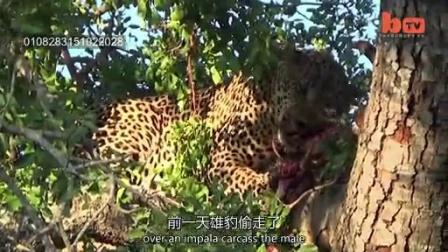 0719 打斗中的猎豹被从树上打落
