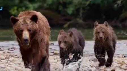"""迪士尼出品自然纪实《熊世界》热映版宣传片""""Now Playing"""""""