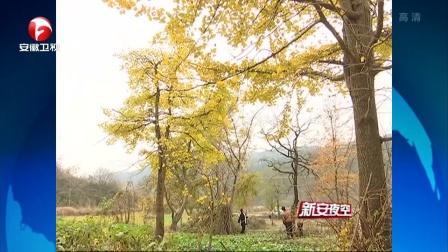 金寨县沙河乡:又是一年银杏黄 新安夜空 171204