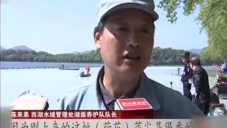 """现场快报20180412杭州 西湖水变乳白色 只为清理""""荷花杀手"""" 高清"""