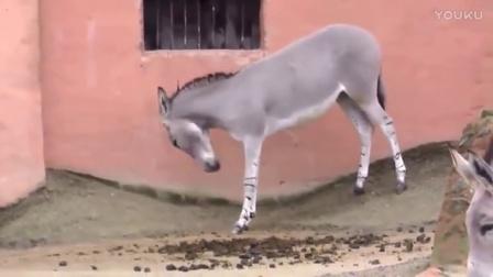 公驴在寻找伴侣, 母驴卖力的在公驴面前展现自己