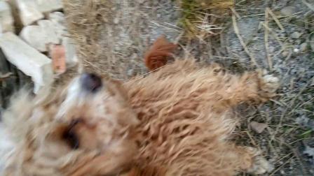 这么聪明的狗狗欢欢既然被流浪狗咬死了,一个星期就学会趴下、鞠躬、站立、坐下,握手。爸爸妈妈打电话告诉我的时候,心里真心难受……
