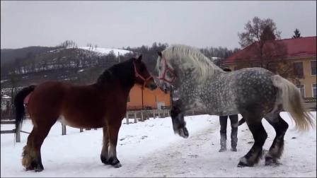 主人给麒麟马配种,北方的旱马,长的像麒麟,身材魁梧