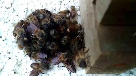 我们的勇士小蜜蜂们战胡蜂