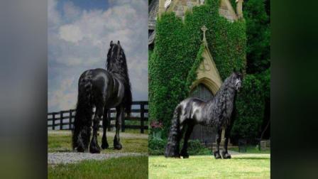 马界刘德华世界上最帅的马配种一次要3.5万