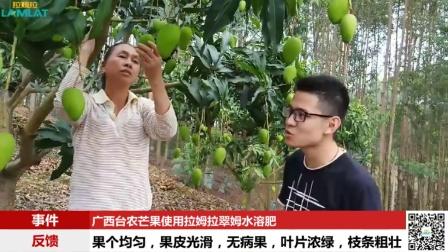 进口水溶肥-广西台农芒果使用拉姆拉翠姆水溶肥产品效果反馈