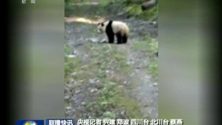 四川村民上山找牛发现野生大熊猫 180517
