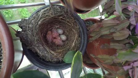 家里阳台的鸟窝.MOV