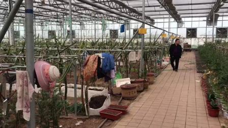火龙果种植玻璃温室大棚投产试用