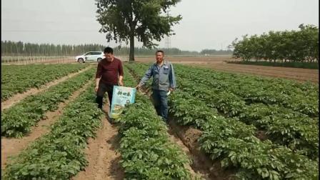 5.10河北省唐山市开平区朱庄子村用了耕田乐的土豆