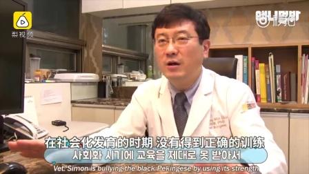 丑萌京巴爱打架,输了含泪啃铁块 韩国综艺节目《动物农场》近日播出了一家爱狗人士,家里养了4只黑京巴和3只黄白色京巴