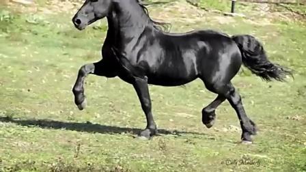 美国一匹公马成为世界最帅的马 配种一次3.5万