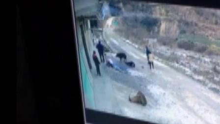 野猪入村伤人致死