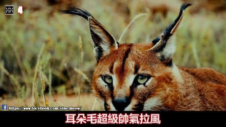 世界上十大最稀有的貓