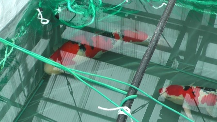 NND亲鲤Candy Jane5月份产卵到9月份长大成为13-15cm的小鱼!