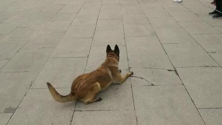 昆明佳富训犬师.警犬技术培训学校,专注于工作犬训练。警犬科目--血迹搜索训练。