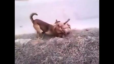 比藏獒还能打的比特犬, 被土狗追着打