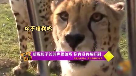 听说豹子的叫声很凶残有没有被吓到!