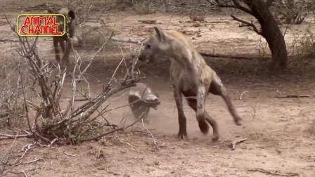 非洲乱不乱, 蜜獾说了算!