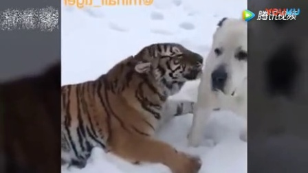 宠物搞笑视频, 老虎- 我舔你你感动吗- 汪- 我不敢动!