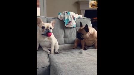 两只法斗犬演绎现实版不怕贼偷就怕贼惦记!