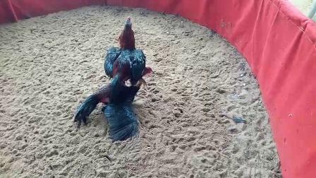 6.5斤重腿新鸡对抽