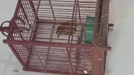 白腹幽鹛公鸟大唱视频