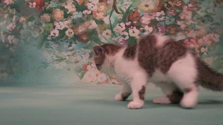 棕色虎斑高白异国短毛猫 女孩