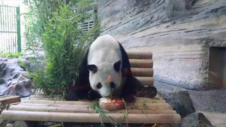 """德国:大熊猫""""娇庆""""在7周岁生日Party上 品味特殊定制的蛋糕"""