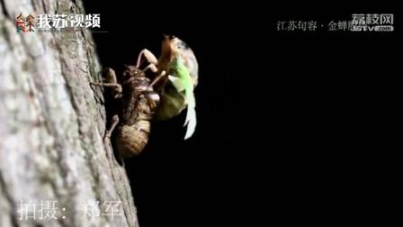 """""""金蝉脱壳""""惊艳一幕,你看过吗?江苏摄影爱好者拍到了全过程"""