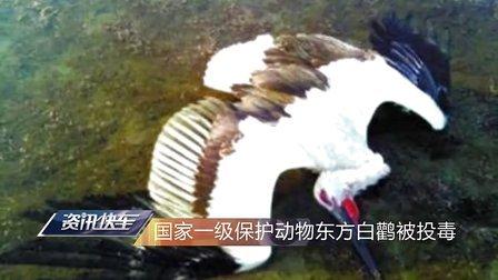 资讯快车 2013 天津近30只珍稀东方白鹳濒 疑遭人为投毒 50 天津东方白鹳中毒濒