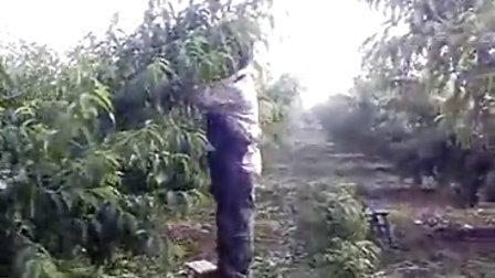 无锡阳山水蜜桃-无锡阳山南山健健果园-包桃子