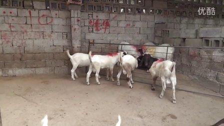 波尔山羊养殖技术 波尔山羊养殖场 养羊技术视频
