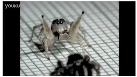 蜘蛛跳探戈示爱 太烂漫了