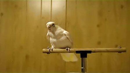 迈克尔杰克逊投胎转世化身舞王鹦鹉