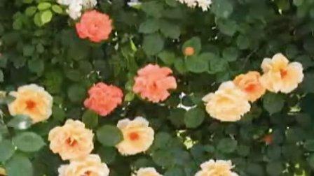月季 月季基地 藤本月季 丰花月季 地被月季 大花月季