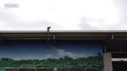 【中华鹰鹘苑】大鹰叫远 高点由线叫远 训鹰视频