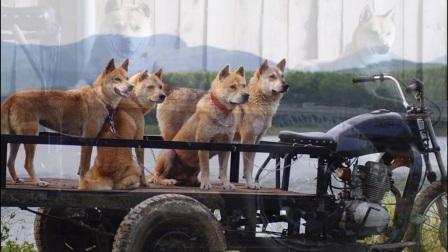 广西本土原生猎犬 带你解读一段鲜为人知的真相