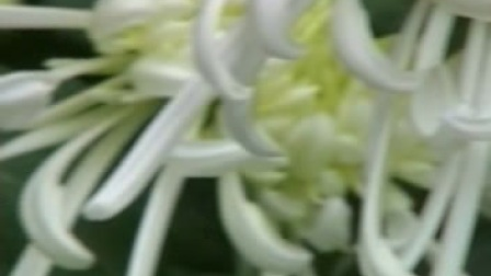 秀色可餐的菊花