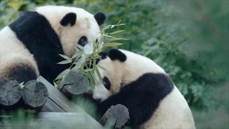 最美公路 萌萌哒大熊猫呆萌上线,棕色大熊猫七仔弥足珍贵