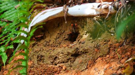 养的这窝黑尾胡蜂开始旺了