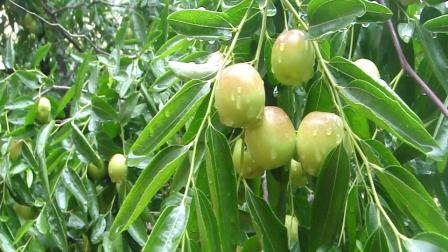 红枣树 的 社区情怀