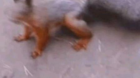 小松鼠会跳舞 最火小松鼠!@电流小助手(电流ID:1000225)@电流小视频(电流ID:1019582)
