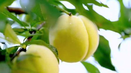 最美的季节遇见你炎陵黄桃