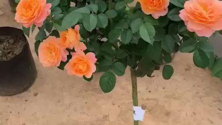 树桩月季重复开花,浓香大花?