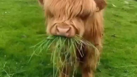 苏格兰高地牛刘海遮眼,萌死个人了!