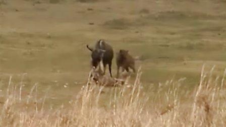 母狮和鬣狗罕见合作